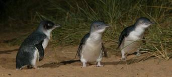 Phillip Island Nature Parks Penguin Parade Entry Thumbnail 2