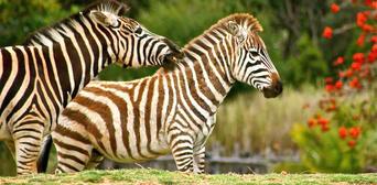 Werribee Open Range Zoo Deluxe Safari Adventure Thumbnail 6