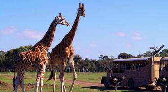 Werribee Open Range Zoo Deluxe Safari Adventure Thumbnail 1