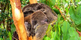 Hartleys Crocodile Adventures Breakfast with Koalas Thumbnail 3